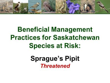 Beneficial Management Practices for Saskatchewan Species at Risk: Sprague's Pipit Threatened.