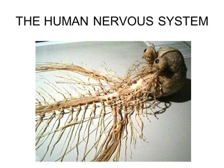 "THE HUMAN NERVOUS SYSTEM. Autonomic CNS vs PNS Human Beings are based on a simple ""stimulus – response"" mechanism Our brains gather information from."