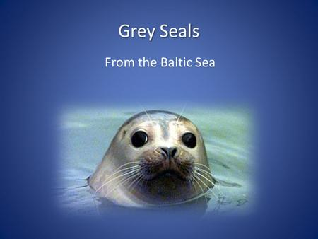 From the Baltic Sea. Gray seals are large, reaching lengths up to about 8 feet and weights over 600 pounds. They range in coloration from a dark brown.