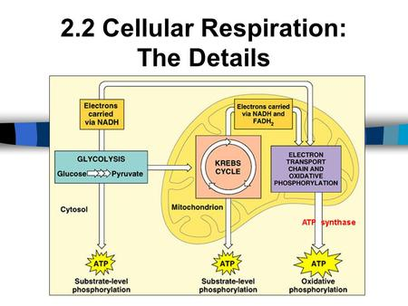 2.2 Cellular Respiration: The Details. Energy Carriers NAD + and FAD + are low energy, oxidized coenzymes that act as electron acceptors. When an electron(s)