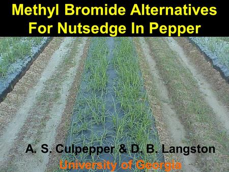 Methyl Bromide Alternatives For Nutsedge In Pepper A. S. Culpepper & D. B. Langston University of Georgia.