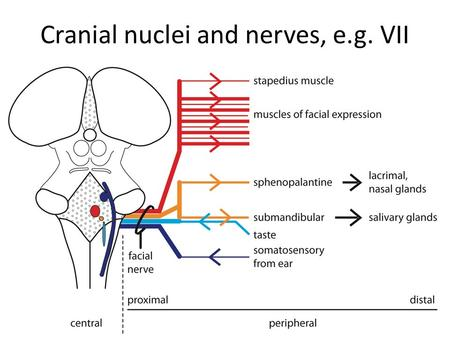 Cranial nuclei and nerves, e.g. VII