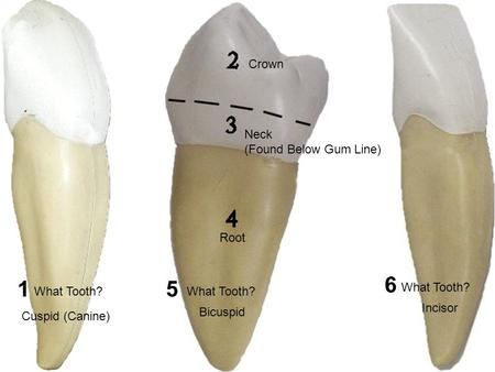 What Tooth? Cuspid (Canine) What Tooth? Bicuspid Incisor Crown Neck (Found Below Gum Line) Root 15 6.