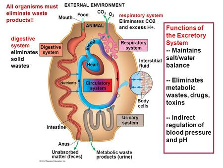 EXTERNAL ENVIRONMENT Mouth Food CO 2 O2O2 ANIMAL Digestive system Respiratory system Circulatory system Urinary system Heart Interstitial fluid Body cells.