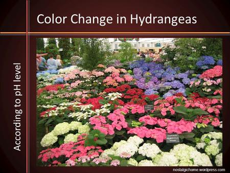 Color Change in Hydrangeas According to pH level nostalgichome.wordpress.com.