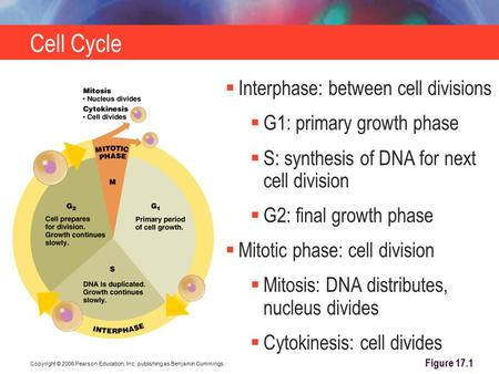 Copyright © 2006 Pearson Education, Inc. publishing as Benjamin Cummings. Cell Cycle Figure 17.1  Interphase: between cell divisions  G1: primary growth.