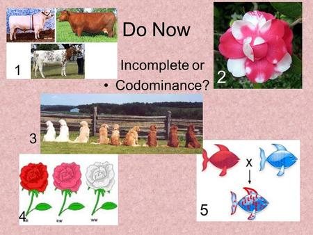 Do Now Incomplete or Codominance? 1 2 3 4 5. Human Genetics: Patterns of Inheritance for Human Traits.