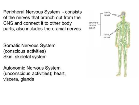 Peripheral Nervous System - consists of the nerves that branch out from the CNS and connect it to other body parts, also includes the cranial nerves Somatic.