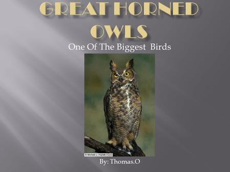 One Of The Biggest Birds By: Thomas.O. The scientific name for the Great Horned owl is Bubo Virginianus(It means Great Horned Owl lives in Virginia.)