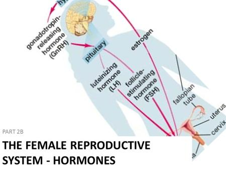 PART 2B THE FEMALE REPRODUCTIVE SYSTEM - HORMONES.