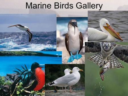 Marine Birds Gallery. Marine Birds Sea and shore provide a haven for many species of birds. Birds that depend on the sea for their survival are called.