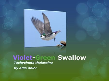 Violet-Green Swallow Tachycineta thalassina By Adia Abler.