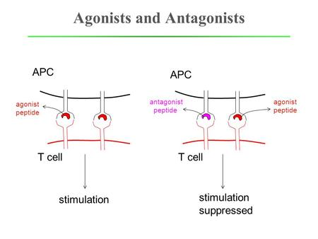 Agonists and Antagonists APC T cell agonist peptide APC T cell antagonist peptide agonist peptide stimulation suppressed.