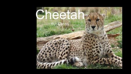 Cheetah By: Gabby. how does it look? How do they look? Cheetahs look golden and have black spots with white stripes on their tail.
