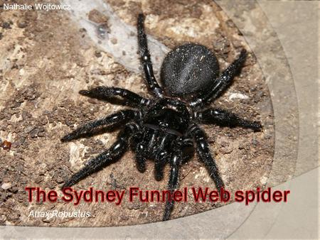 Atrax Robustus 1 Nathalie Wojtowicz. Presentation 1. Description of the sydney funnel web spider 2. Is it very dangerous ? 2.