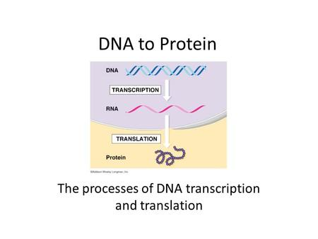 DNA to Protein The processes of DNA transcription and translation.