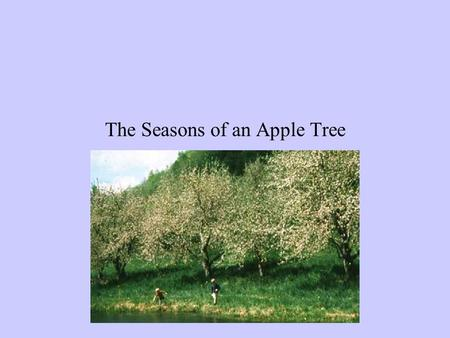 The Seasons of an Apple Tree I Love to go Apple Picking We drive past our favorite apple orchard at least four times a year –once in each season.