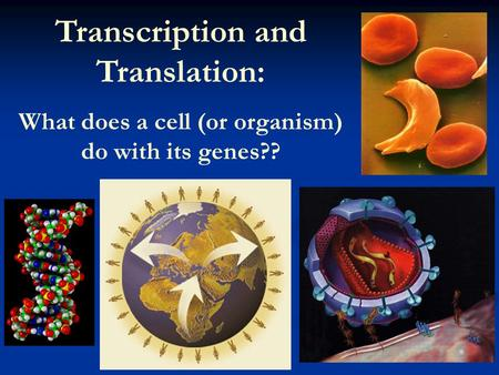 Transcription and Translation: What does a cell (or organism) do with its genes??