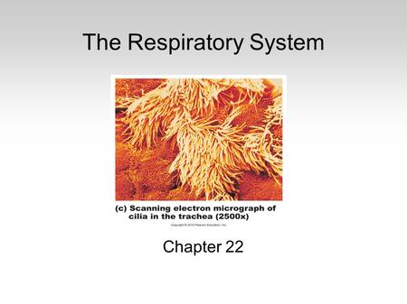The Respiratory System Chapter 22. Functions Surface for gas exchange Movement of air Protection of respiratory pathways Sound production Assistance with.