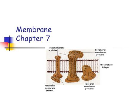 Membrane Chapter 7. Cell membrane Cell Membrane Plasma membrane Selective permeability Surrounds all living cells 2 molecules thick.
