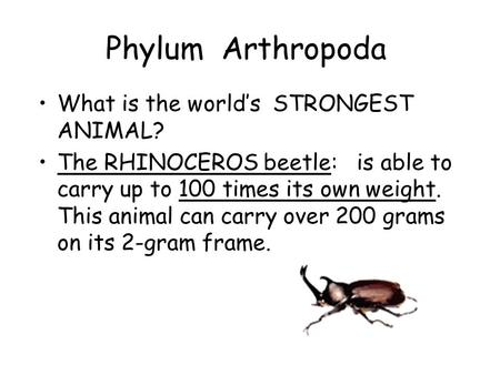 Phylum Arthropoda What is the world's STRONGEST ANIMAL? The RHINOCEROS beetle: is able to carry up to 100 times its own weight. This animal can carry over.