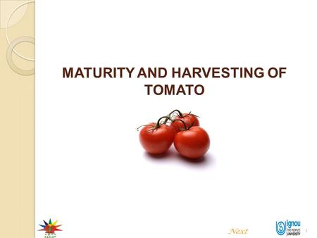 1 MATURITY AND HARVESTING OF TOMATO Next. 2 MATURITY AND HARVESTING OF TOMATO Introduction Tomato is considered as a most important fruit vegetable of.