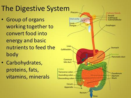 The Digestive System Group of organs working together to convert food into energy and basic nutrients to feed the body Carbohydrates, proteins, fats, vitamins,