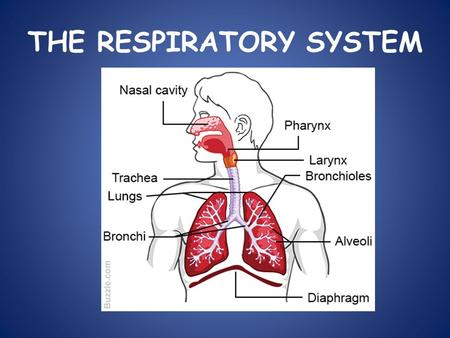 THE RESPIRATORY SYSTEM. WHAT IS CELLULAR RESPIRATION? Cellular respiration is a chemical reaction that happens in all cells. It uses glucose (sugar) and.