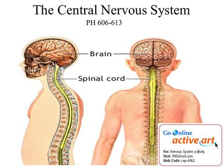 PH 606-613 The Central Nervous System. 1. What is the function of the nervous system? a.Receive information inside and outside your body. b.Directs.