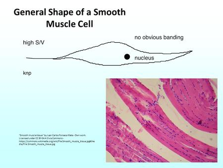 General Shape of a Smooth Muscle Cell Smooth muscle tissue by Juan Carlos Fonseca Mata - Own work. Licensed under CC BY-SA 4.0 via Commons - https://commons.wikimedia.org/wiki/File:Smooth_muscle_tissue.jpg#/me.