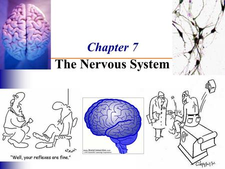 Chapter 7 The Nervous System. Functions of the Nervous System 1. Sensory input – gathering information  monitor changes inside and outside the body 