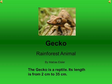Gecko Rainforest Animal By Matías Eisler The Gecko is a reptile. Its length is from 2 cm to 35 cm.