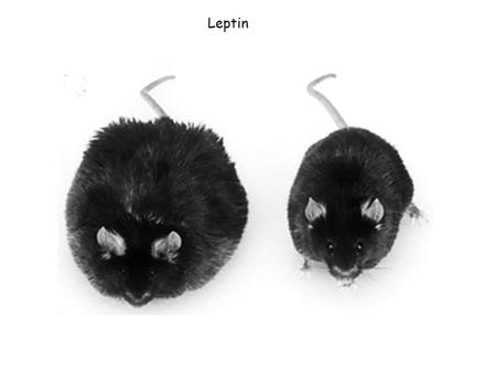 Leptin. Leptin and Body fat positively correlated in humans (but correlation not super tight)