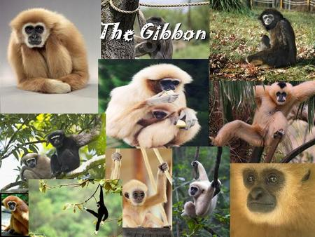 The Gibbon. DESCRIPTION Gibbons are small, arboreal apes distributed in the wild in the tropical and subtropical rainforests of Southeast, South, and.