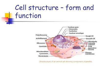 Cell structure – form and function. The cell as a factory The nucleus.