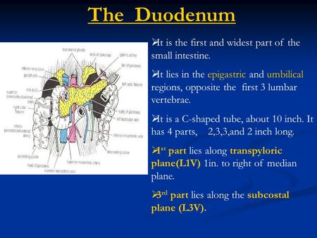 The Duodenum It is the first and widest part of the small intestine.