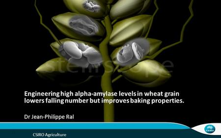 Engineering high alpha-amylase levels in wheat grain lowers falling number but improves baking properties. Good afternoon everyone, For the next 15-20.