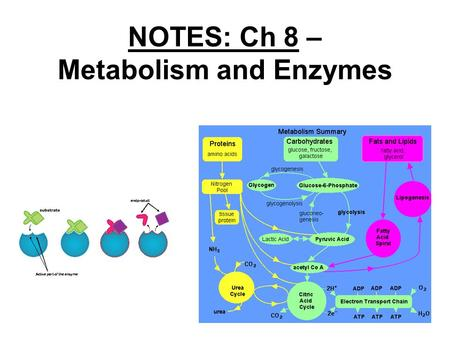 NOTES: Ch 8 – Metabolism and Enzymes