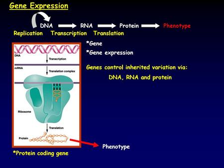 Gene Expression *Protein coding gene *Gene expression Genes control inherited variation via: DNA, RNA and protein Phenotype *Gene DNAPhenotypeRNAProtein.