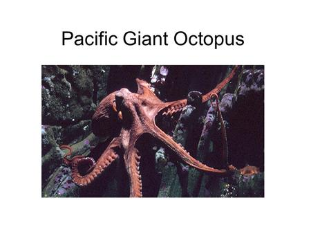 Pacific Giant Octopus. About the Pacific Giant Octopus The Pacfic Giant octopus is it's common name, its scientific name is Enteroctopus dofleini. Adults.
