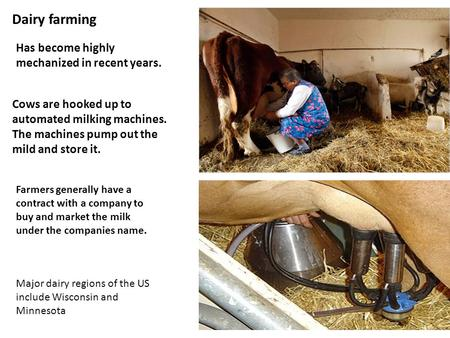 Dairy farming Has become highly mechanized in recent years. Cows are hooked up to automated milking machines. The machines pump out the mild and store.