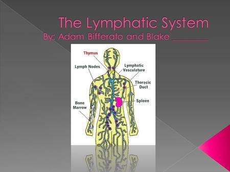  The lymphatic system is the drainage system in the body. It is also the immune system. The organs are as follows; The bone marrow, spleen, thymus gland,