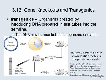 3.12 Gene Knockouts and Transgenics transgenics – Organisms created by introducing DNA prepared in test tubes into the germline. –The DNA may be inserted.