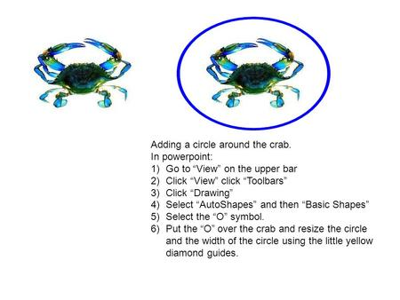 "Adding a circle around the crab. In powerpoint: 1)Go to ""View"" on the upper bar 2)Click ""View"" click ""Toolbars"" 3)Click ""Drawing"" 4)Select ""AutoShapes"""