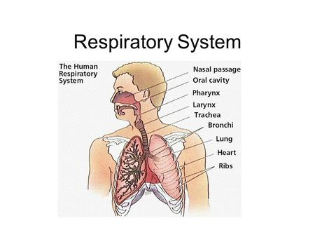 Respiratory System. What is respiration? 1.Gas Exchange 1.O 2 + CO 2 + H 2 O 2.Cellular respiration 1.Mitochondria use oxygen to produce energy (ATP)