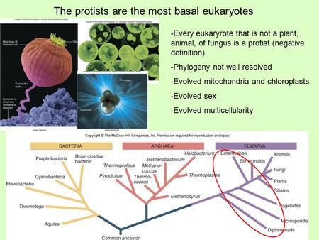 The protists are the most basal eukaryotes -Every eukaryrote that is not a plant, animal, of fungus is a protist (negative definition) -Phylogeny not well.