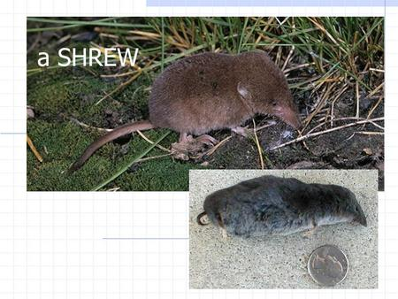 "A SHREW. SYMBIOSIS Two species living together in close association. (Also called ""symbiotic relationships"")"
