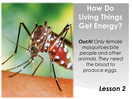 How Do Living Things Get Energy? Ouch! Only female mosquitoes bite people and other animals. They need the blood to produce eggs. Lesson 2.
