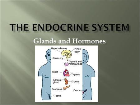 Glands and Hormones. What makes the Endocrine system unique is that it secretes hormones… These hormones are chemical messengers that are carried through.