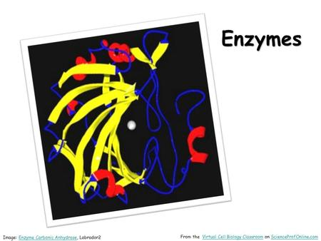 Enzymes Image: Enzyme Carbonic Anhydrase, Labrador2Enzyme Carbonic Anhydrase From the Virtual Cell Biology Classroom on ScienceProfOnline.comVirtual Cell.